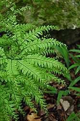 Northern Maidenhair Fern (Adiantum pedatum) at Otten Bros. Garden Center