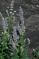 Anise Hyssop (Agastache foeniculum) at Otten Bros. Garden Center