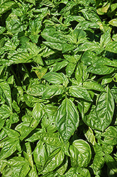 Sweet Basil (Ocimum basilicum) at Otten Bros. Garden Center