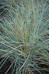 Blue Dune Lyme Grass (Leymus arenarius 'Blue Dune') at Otten Bros. Garden Center