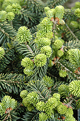 Dwarf Balsam Fir (Abies balsamea 'Nana') at Otten Bros. Garden Center