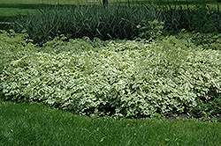 Variegated Bishop's Goutweed (Aegopodium podagraria 'Variegata') at Otten Bros. Garden Center