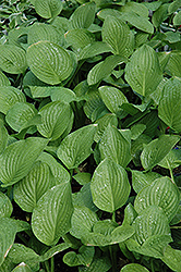 Royal Standard Hosta (Hosta 'Royal Standard') at Otten Bros. Garden Center