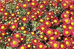 Red Daisy Chrysanthemum (Chrysanthemum 'Red Daisy') at Otten Bros. Garden Center