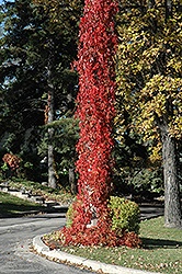 Virginia Creeper (Parthenocissus quinquefolia) at Otten Bros. Garden Center