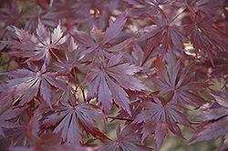 Trompenburg Japanese Maple (Acer palmatum 'Trompenburg') at Otten Bros. Garden Center