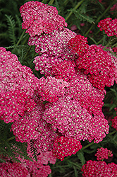Saucy Seduction Yarrow (Achillea millefolium 'Saucy Seduction') at Otten Bros. Garden Center