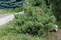 Macopin Eastern White Pine (Pinus strobus 'Macopin') at Otten Bros. Garden Center