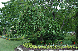 Weeping Mulberry (Morus alba 'Pendula') at Otten Bros. Garden Center