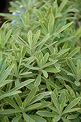 Ascot Rainbow Variegated Spurge (Euphorbia 'Ascot Rainbow') at Otten Bros. Garden Center