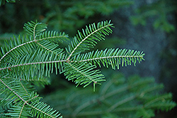 Balsam Fir (Abies balsamea) at Otten Bros. Garden Center