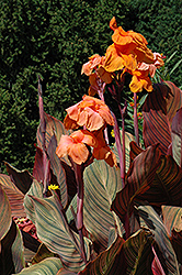 Tropicanna Canna (Canna 'Tropicanna') at Otten Bros. Garden Center