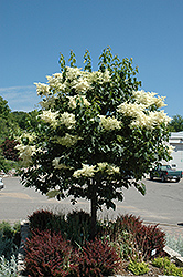 Snowdance™ Japanese Tree Lilac (Syringa reticulata 'Bailnce') at Otten Bros. Garden Center