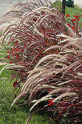 Fireworks Fountain Grass (Pennisetum setaceum 'Fireworks') at Otten Bros. Garden Center