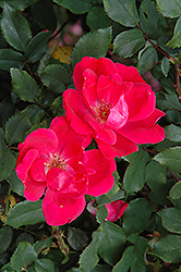 Red Knock Out® Rose (Rosa 'Red Knock Out') at Otten Bros. Garden Center