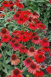 Sombrero® Salsa Red Coneflower (Echinacea 'Balsomsed') at Otten Bros. Garden Center