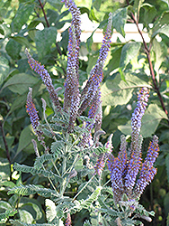Wild Indigo Bush (Amorpha canescens) at Otten Bros. Garden Center
