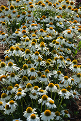 PowWow White Coneflower (Echinacea purpurea 'PowWow White') at Otten Bros. Garden Center