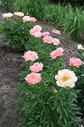 Coral Sunset Peony (Paeonia 'Coral Sunset') at Otten Bros. Garden Center