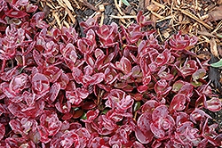 Cherry Tart Stonecrop (Sedum 'Cherry Tart') at Otten Bros. Garden Center