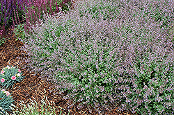 Purrsian Blue Catmint (Nepeta x faassenii 'Purrsian Blue') at Otten Bros. Garden Center