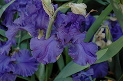 Breakers Iris (Iris 'Breakers') at Otten Bros. Garden Center