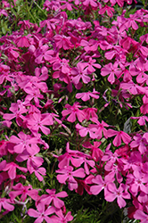 Drummond's Pink Moss Phlox (Phlox subulata 'Drummond's Pink') at Otten Bros. Garden Center