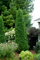 North Pole® Arborvitae (Thuja occidentalis 'Art Boe') at Otten Bros. Garden Center