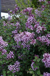 Bloomerang® Lilac (Syringa 'Bloomerang') at Otten Bros. Garden Center