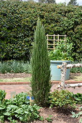 Blue Arrow Juniper (Juniperus scopulorum 'Blue Arrow') at Otten Bros. Garden Center