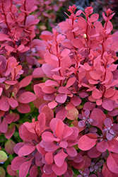 Orange Rocket Japanese Barberry (Berberis thunbergii 'Orange Rocket') at Otten Bros. Garden Center