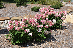 Little Quick Fire® Hydrangea (Hydrangea paniculata 'SMHPLQF') at Otten Bros. Garden Center