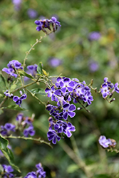 Sapphire Showers Duranta (Duranta erecta 'Sapphire Showers') at Otten Bros. Garden Center
