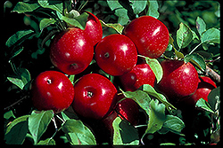 Haralson Apple (Malus 'Haralson') at Otten Bros. Garden Center