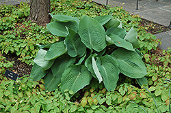 Blue Angel Hosta (Hosta 'Blue Angel') at Otten Bros. Garden Center