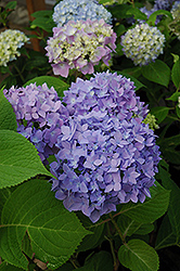 Endless Summer® Hydrangea (Hydrangea macrophylla 'Endless Summer') at Otten Bros. Garden Center