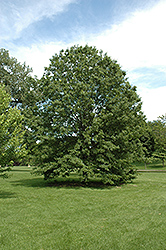Northern Pin Oak (Quercus ellipsoidalis) at Otten Bros. Garden Center