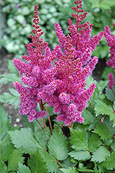 Visions Astilbe (Astilbe chinensis 'Visions') at Otten Bros. Garden Center