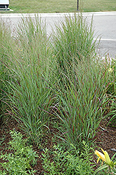 Shenandoah Reed Switch Grass (Panicum virgatum 'Shenandoah') at Otten Bros. Garden Center