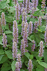 Blue Fortune Anise Hyssop (Agastache 'Blue Fortune') at Otten Bros. Garden Center
