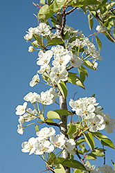 Summercrisp Pear (Pyrus 'Summercrisp') at Otten Bros. Garden Center
