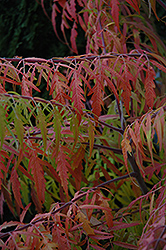 Tiger Eyes® Sumac (Rhus typhina 'Bailtiger') at Otten Bros. Garden Center