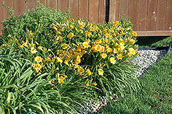 Stella de Oro Daylily (Hemerocallis 'Stella de Oro') at Otten Bros. Garden Center