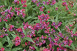 Raspberry Splash Lungwort (Pulmonaria 'Raspberry Splash') at Otten Bros. Garden Center