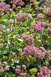 October Daphne (Sedum sieboldii) at Otten Bros. Garden Center