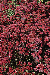 Garnet Brocade Stonecrop (Sedum 'Garbro') at Otten Bros. Garden Center