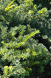 Emerald Spreader Yew (Taxus cuspidata 'Emerald Spreader') at Otten Bros. Garden Center