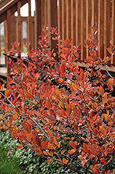 Autumn Magic Black Chokeberry (Aronia melanocarpa 'Autumn Magic') at Otten Bros. Garden Center