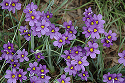 Lucerne Blue-Eyed Grass (Sisyrinchium angustifolium 'Lucerne') at Otten Bros. Garden Center