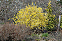 Northern Gold Forsythia (Forsythia 'Northern Gold') at Otten Bros. Garden Center